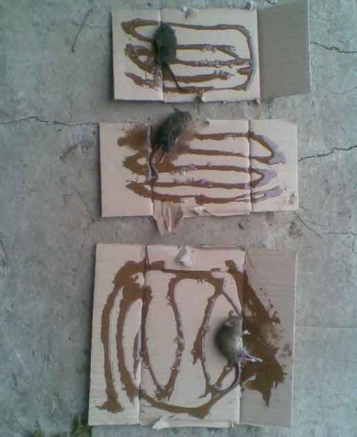 как ловить крыс на клей